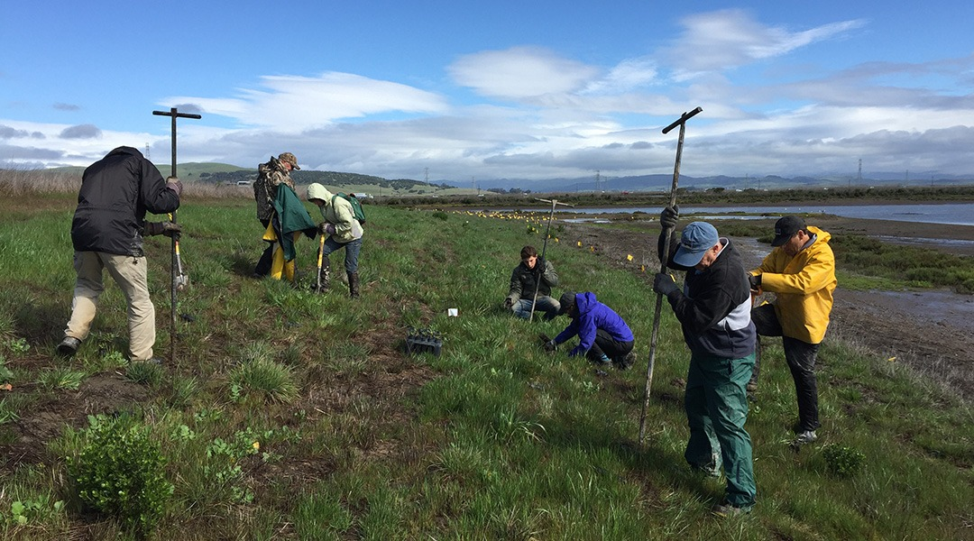 Planting-Natives-along-the-levee-at-Sears-Point